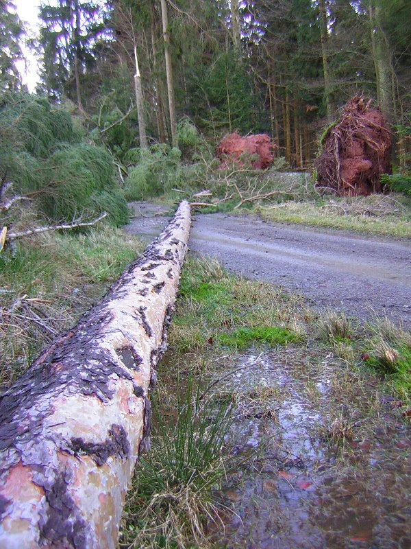 Gale force winds strike once or twice a year uprooting or snapping tall pines trees - natures way of culling the weaker trees in the forest.